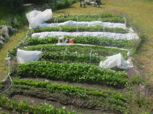 Yukon garden, with row covers to protect from 'anytime' frost.