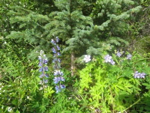 Wild delphinium and columbine