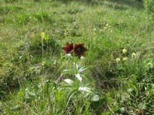 Wild chocolate lilies
