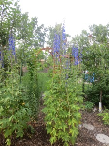 Happy, tall delphiniums